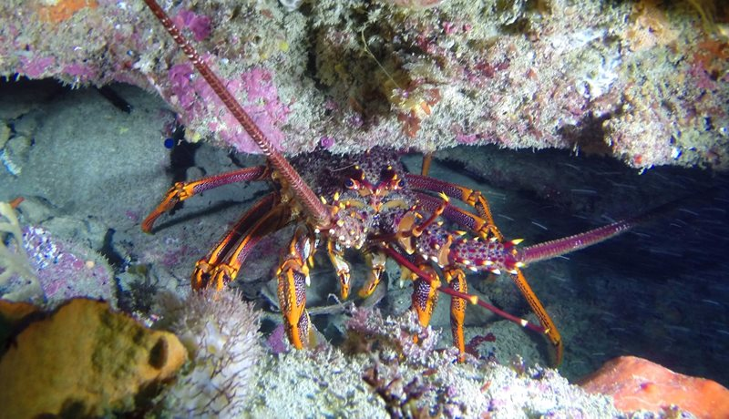 Southern Rock Lobster Catching a Cray!
