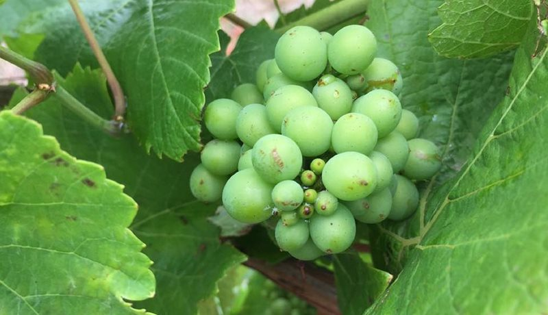 Pinot Noir in the making
