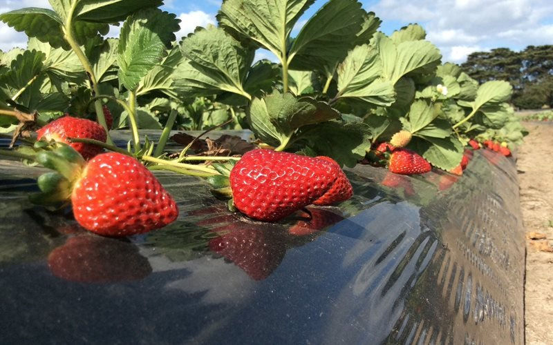 Ripe red strawberries on strawberry plants
