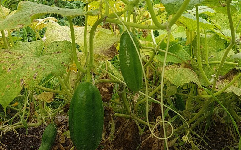 Beit Alpha cucumbers on the vine.