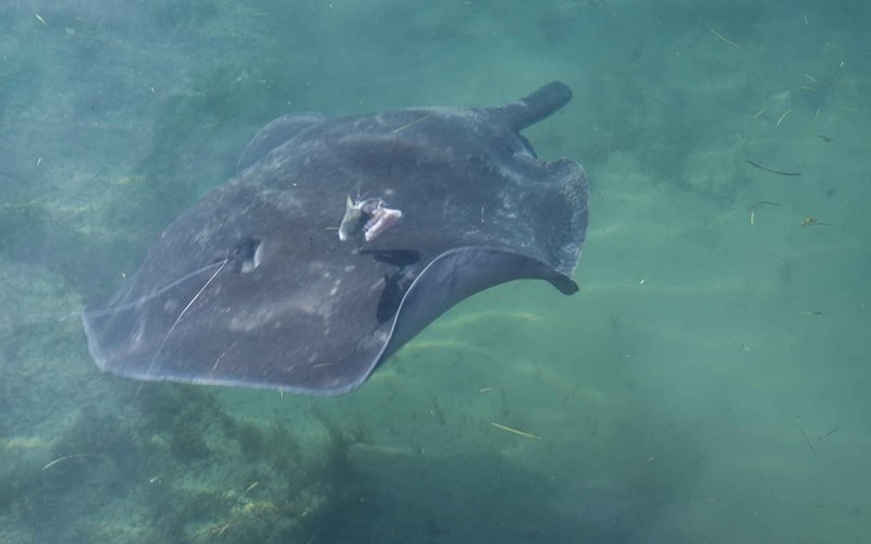 Spot the resident stingrays - this one is called Stumpy
