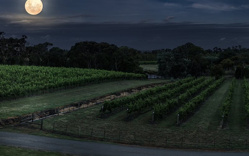Super moon rising over the vines